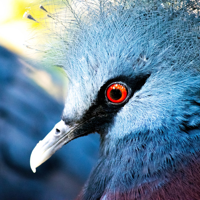 """Victorian Crowned Pigeon"" stock image"