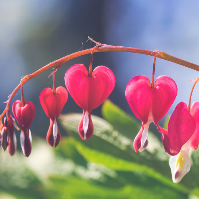 """Bleeding Hearts"" stock image"