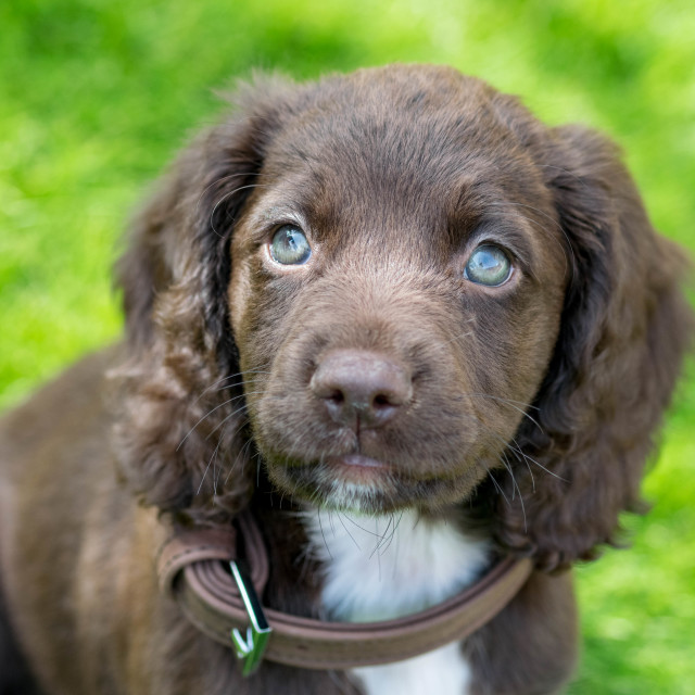 """Sprocker Puppy"" stock image"