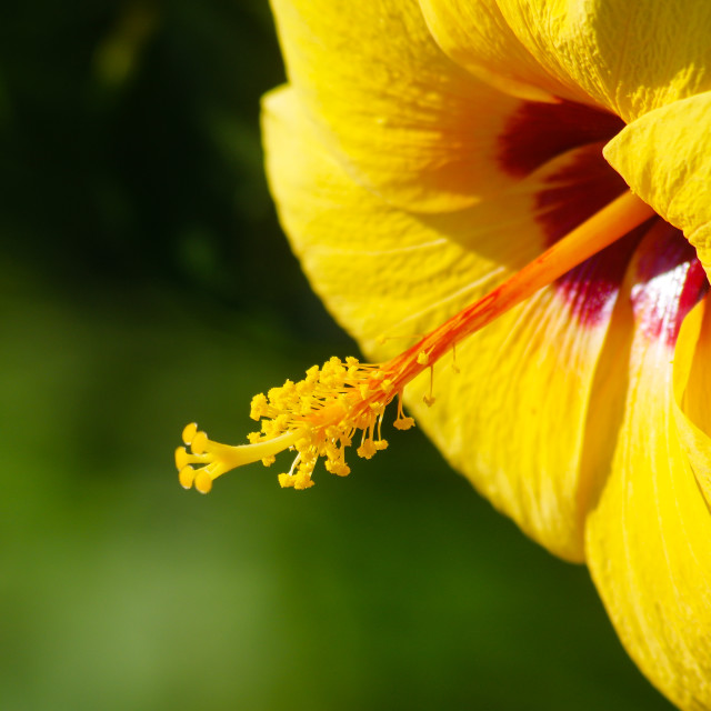 """Beautiful yellow hibiscus in daylight"" stock image"