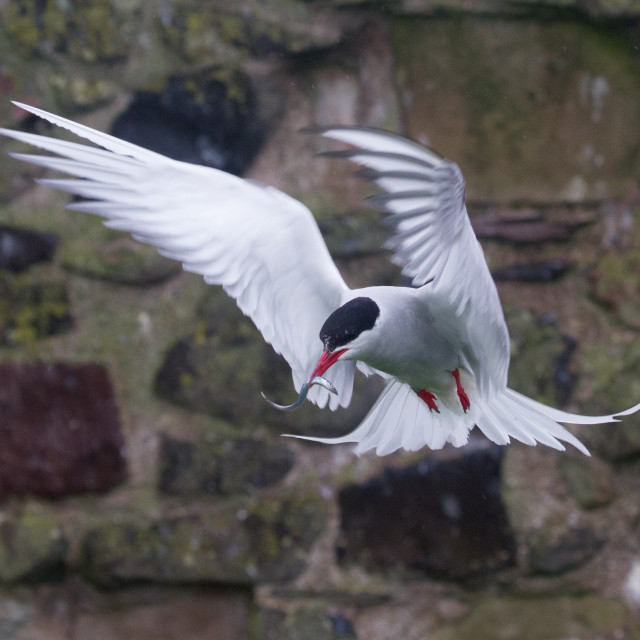"""Arctic Tern, Farne Islands"" stock image"