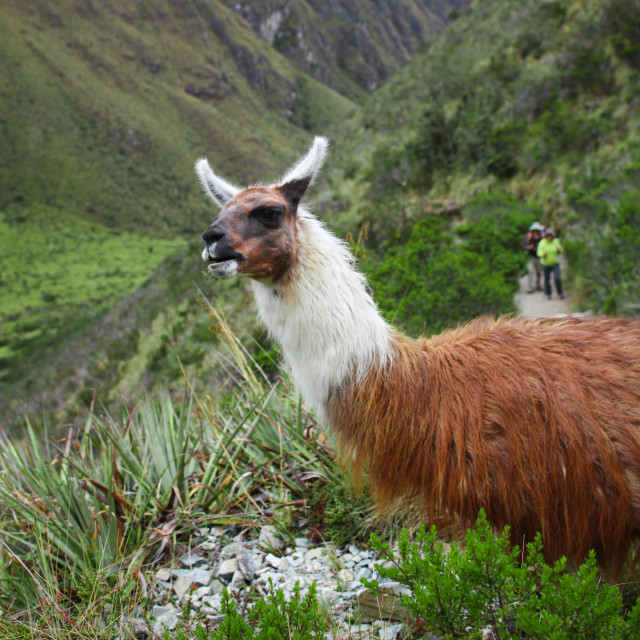 """""""Lama, Peru"""" stock image"""