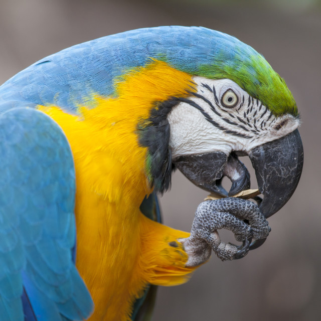 """Blue-yellow parrot"" stock image"