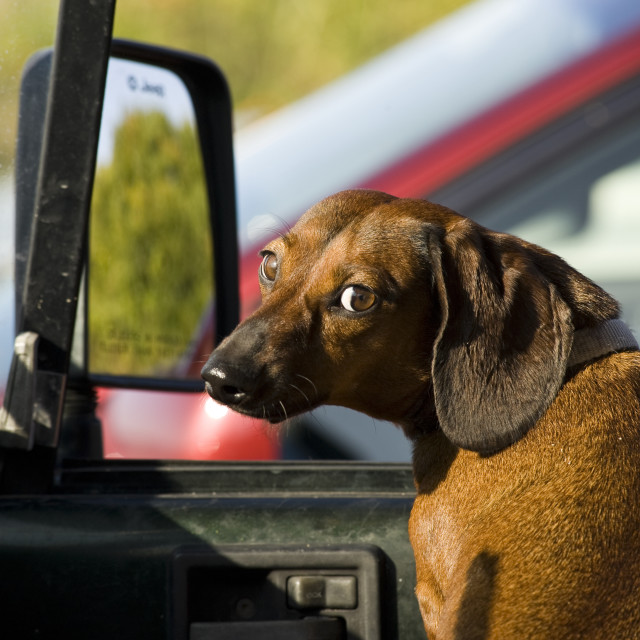 """""""Dachshund in a car with a humorous expression."""" stock image"""