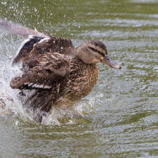 """Mallard at Sherfield-On-Loddon Pond"" stock image"