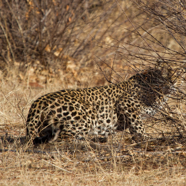 """Leopard, Madikwe Game Reserve"" stock image"