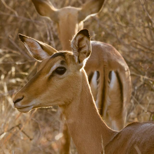 """""""Impala, Madikwe Game Reserve"""" stock image"""