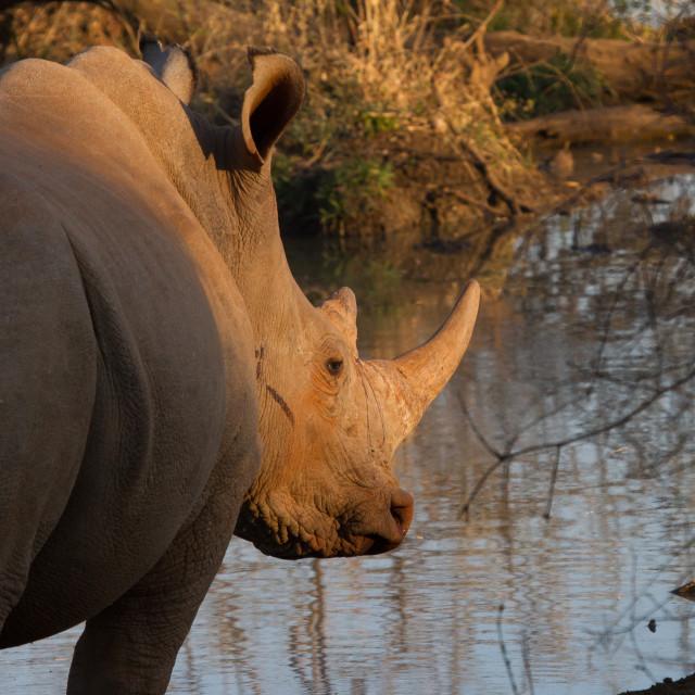 """White Rhino, Madikwe Game Reserve"" stock image"