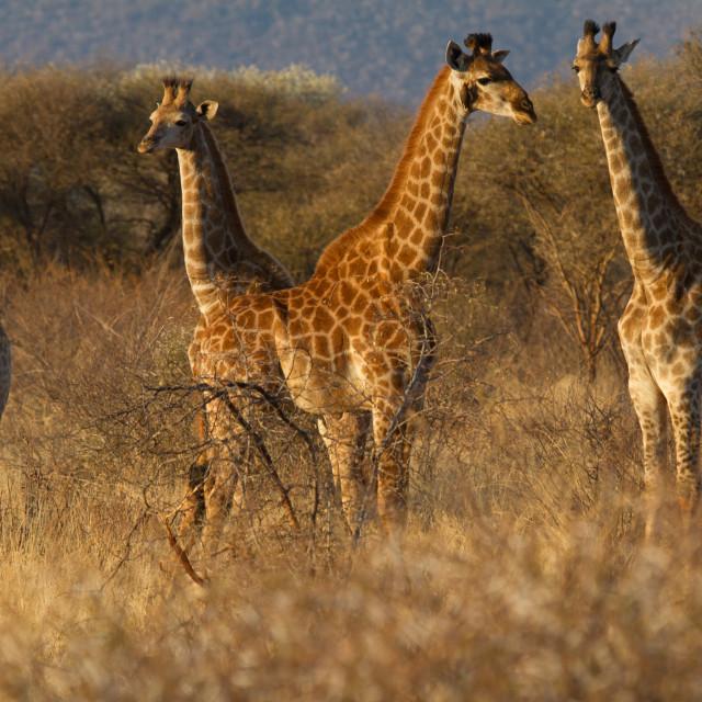 """Giraffe, Madikwe Game Reserve"" stock image"