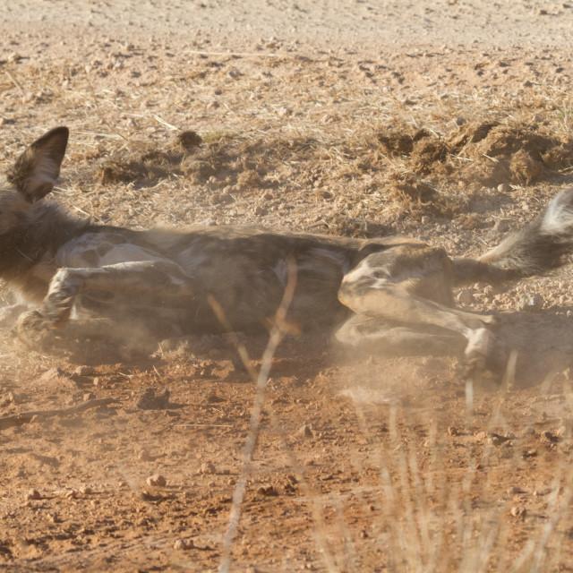 """Wild Dog, Madikwe Game Reserve"" stock image"