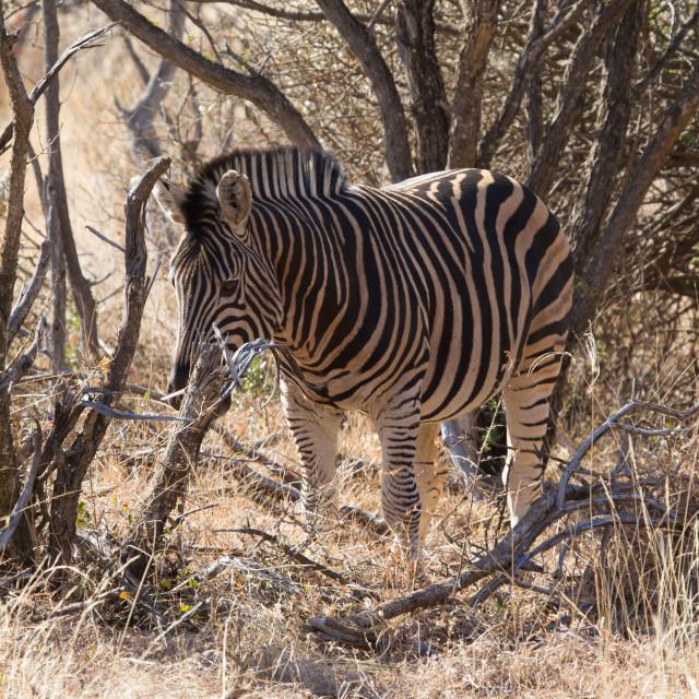 """Zebra, Madikwe Game Reserve"" stock image"