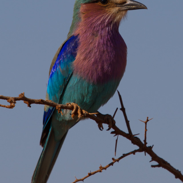 """""""Lilac-Breasted Roller, Madikwe Game Reserve"""" stock image"""