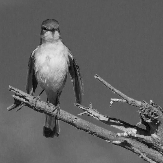 """Flycatcher, Madikwe Game Reserve"" stock image"