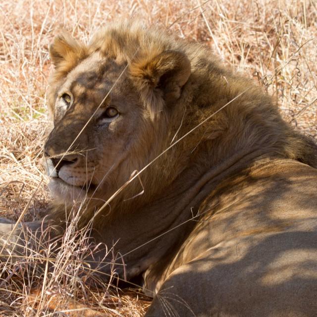 """""""Lion, Madikwe Game Reserve"""" stock image"""