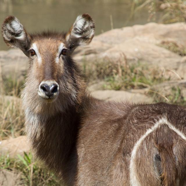 """Waterbuck, Madikwe Game Reserve"" stock image"