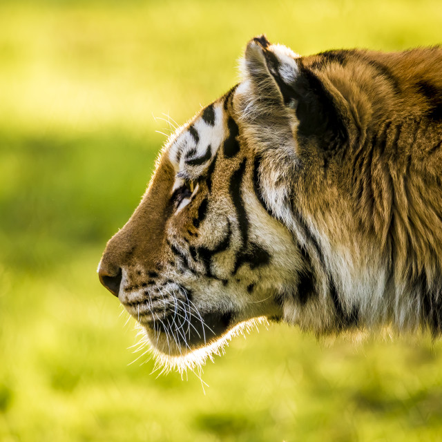 """TigerProfile"" stock image"