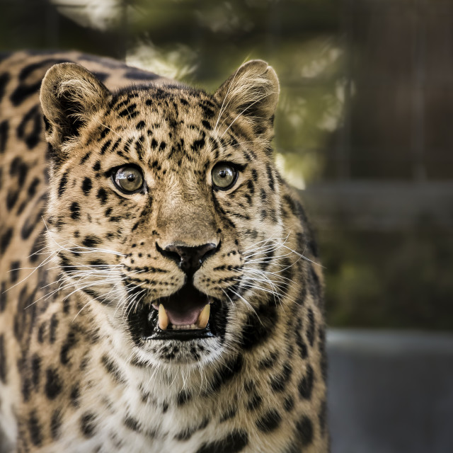 """""""Leopard See"""" stock image"""