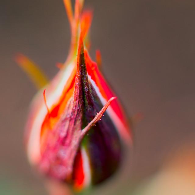 """Rose flower Rosaceae"" stock image"