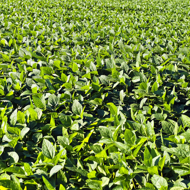 """""""Soybean field, New Jersey, USA"""" stock image"""