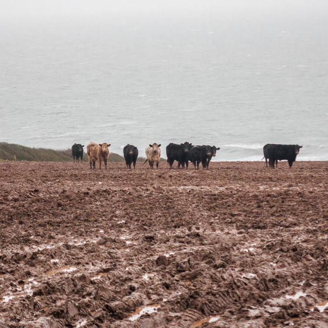 """Seaside cows"" stock image"