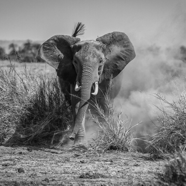 """Angry Elephant"" stock image"