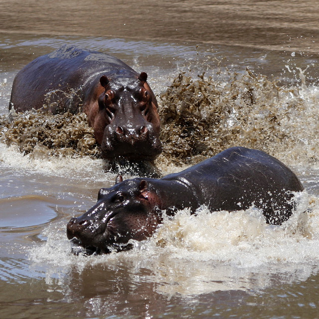 """""""Hippo Chase"""" stock image"""