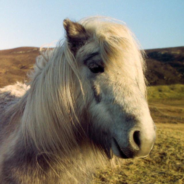 """Shetland Icon"" stock image"