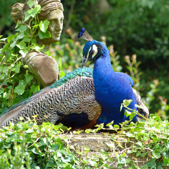 """Peacock and Statue"" stock image"
