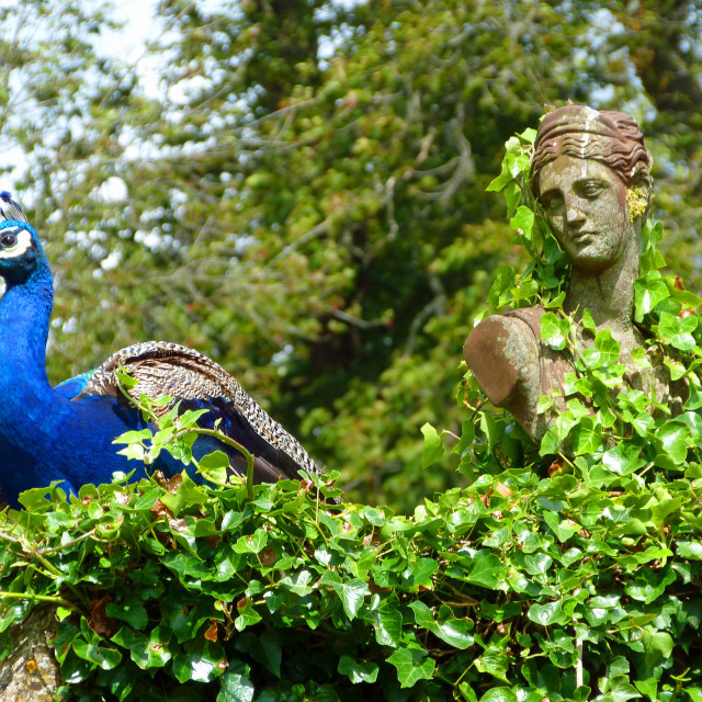 """Statue and Peacock"" stock image"