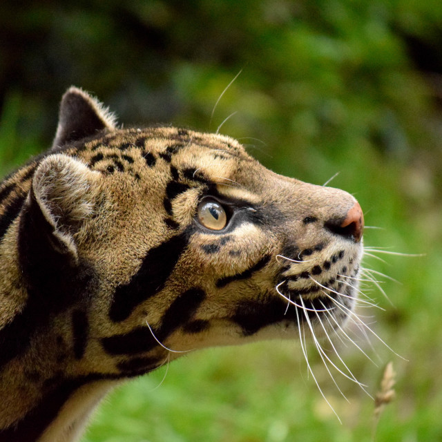 """The detail and markings are amazing on a clouded leopard"" stock image"