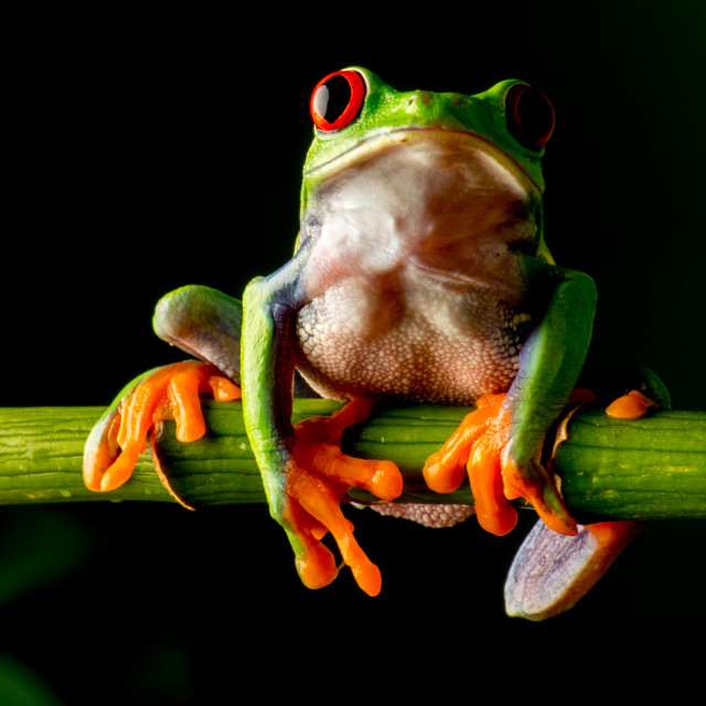 """The stunning world of macro- Red eye tree frog"" stock image"