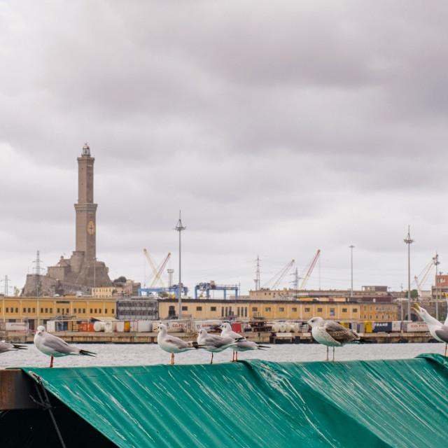 """Seagulls In Genoa"" stock image"