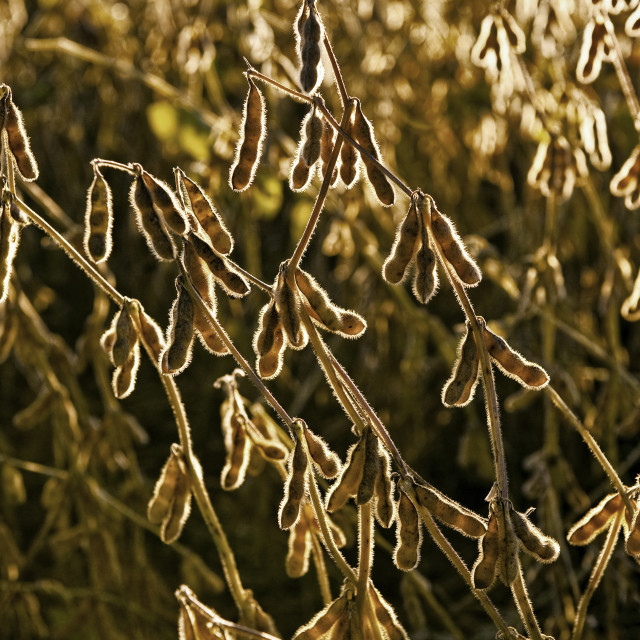 """""""Soybean crop ready for harvest."""" stock image"""