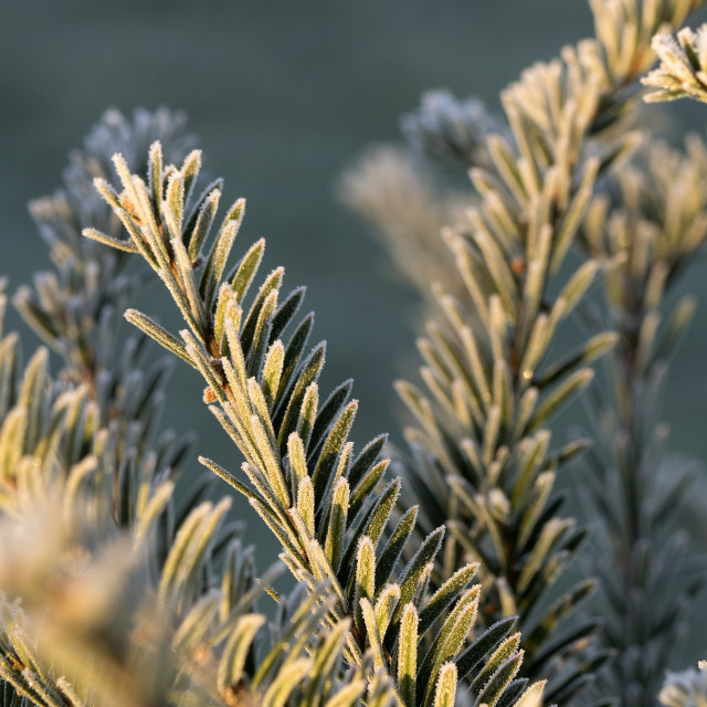 """Winter Yew Tree"" stock image"