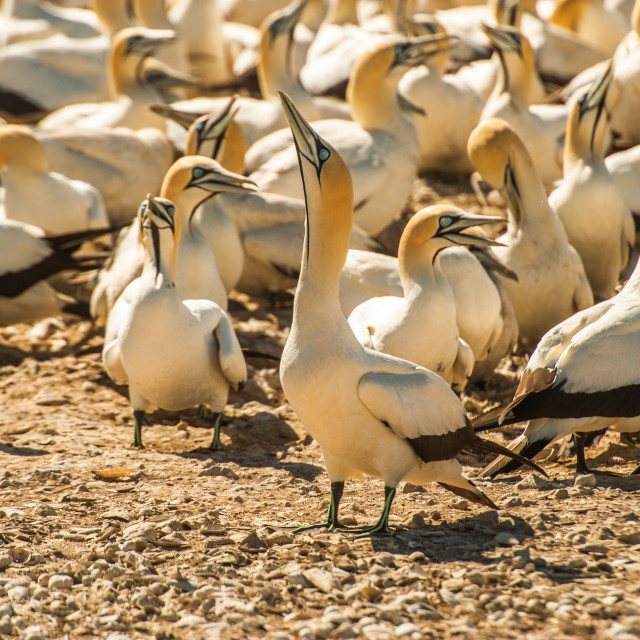 """Gannets stand packed together in their breeding colony"" stock image"