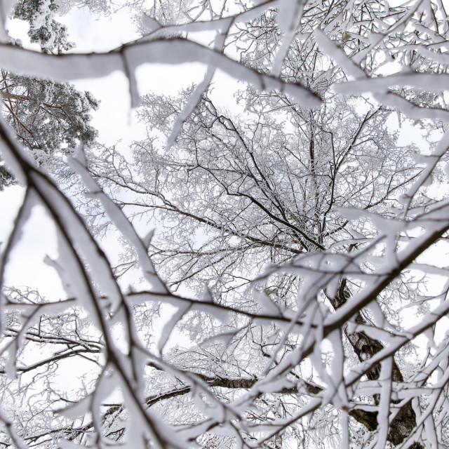 """Frozen forest"" stock image"