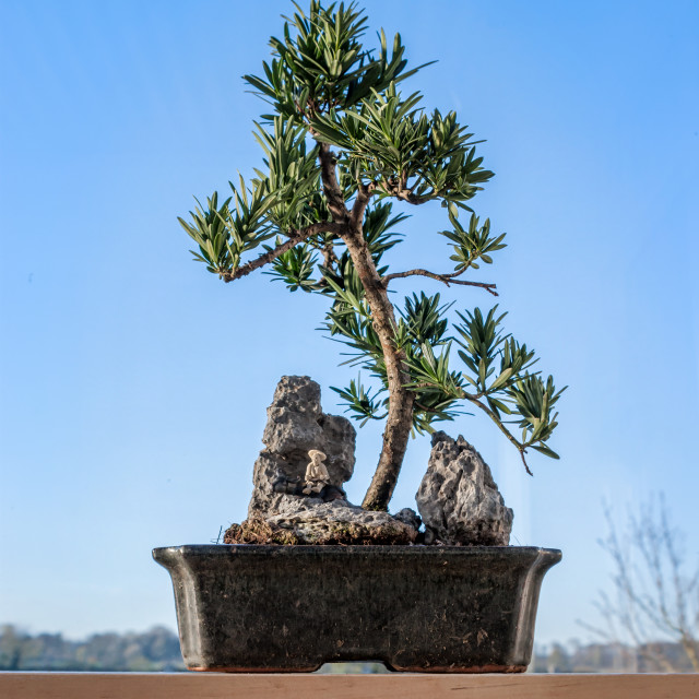 """Bonsai Tree on table with blue sky"" stock image"