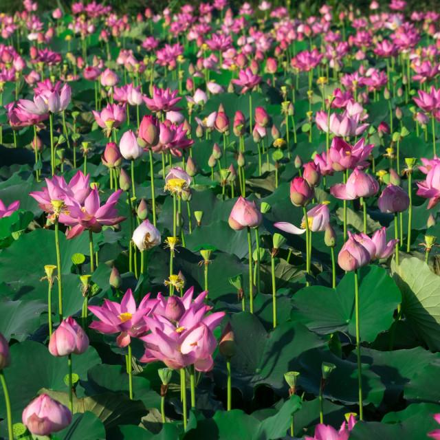 """""""Pink lotus flower"""" stock image"""