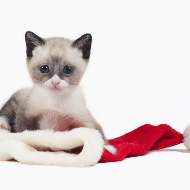 """snowshoe Christmas cat"" stock image"