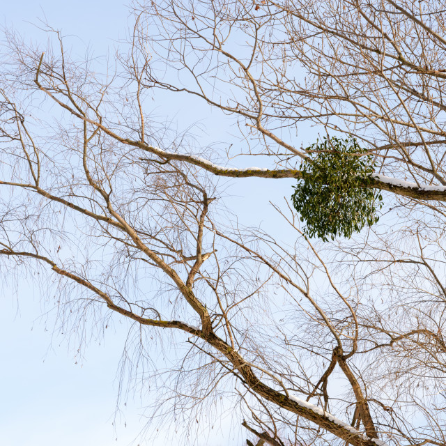 """Viscum Album on the Tree"" stock image"