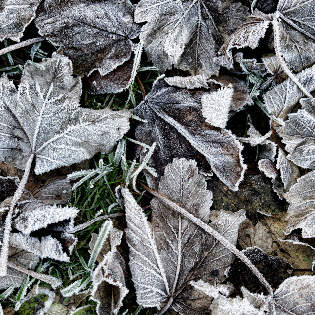 """Frost Covered Leaves"" stock image"