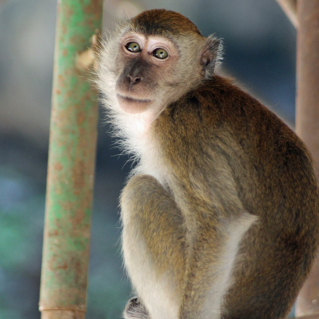 """""""Model macaque"""" stock image"""