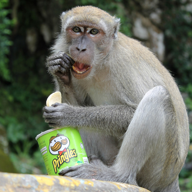 """Macaque eating Pringles"" stock image"