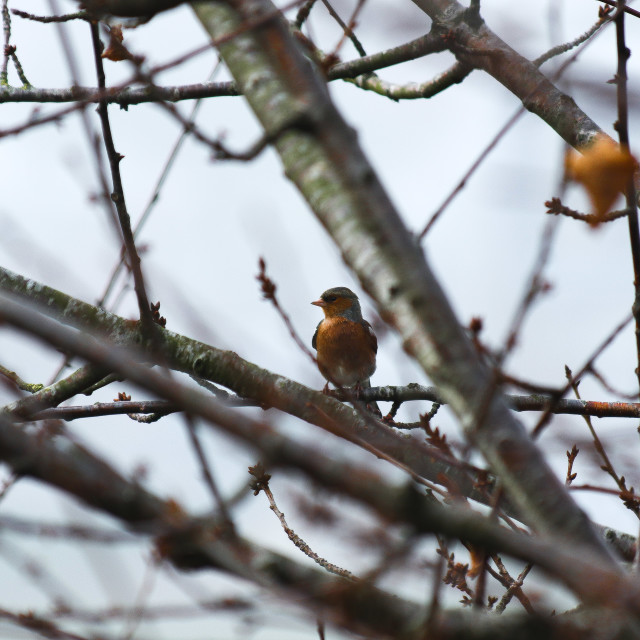 """Chaffinch in Winter Tree"" stock image"