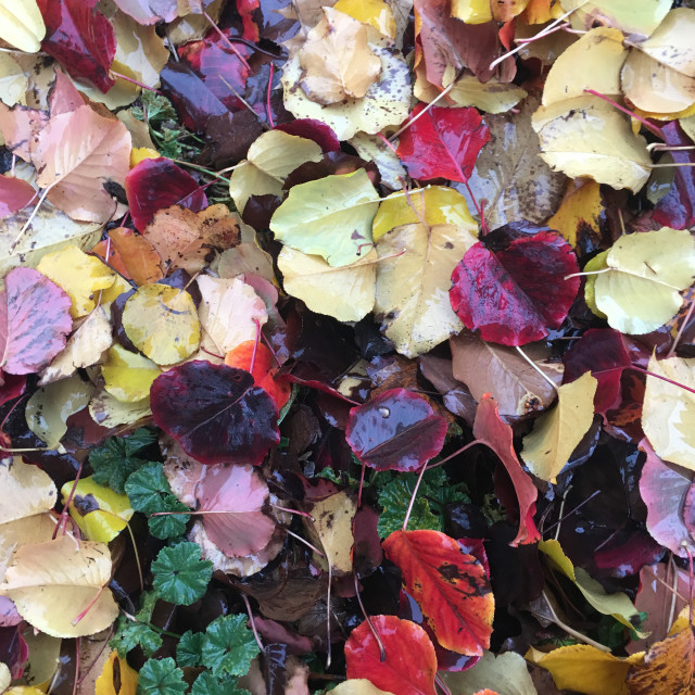 """Wet colorful leaves"" stock image"