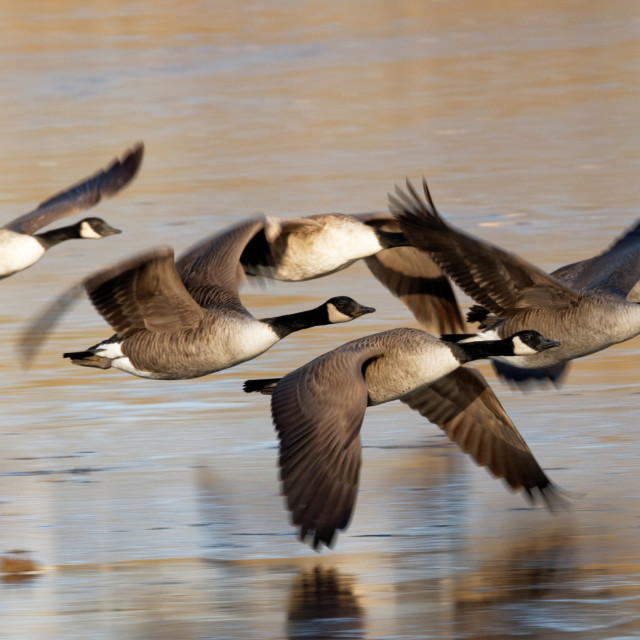 """Canada Geese Taking Off From Ice"" stock image"
