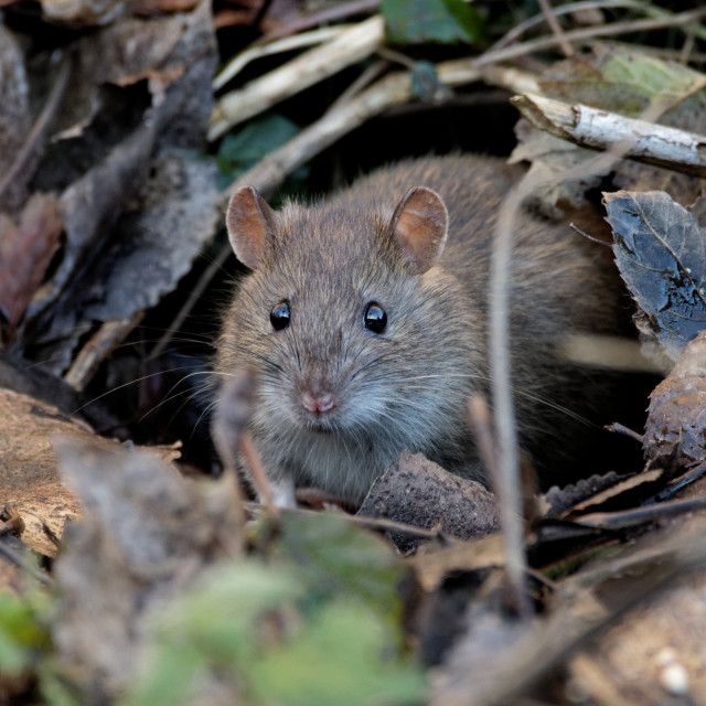 """Brown Rat"" stock image"