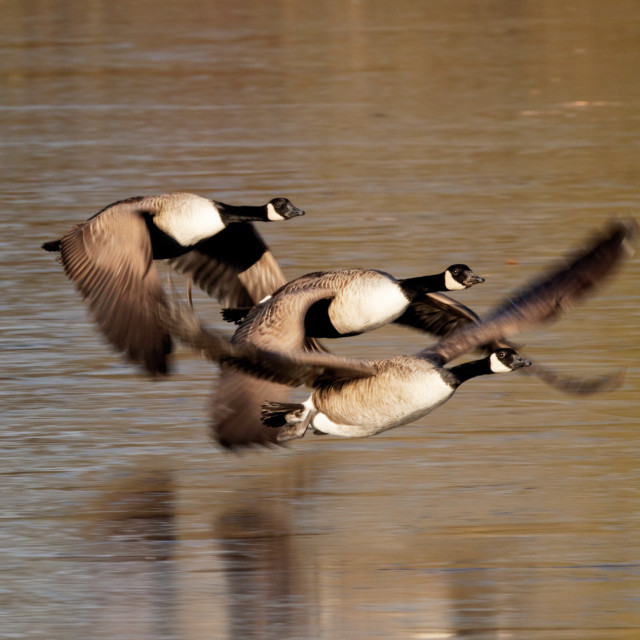 """Three Canada Geese"" stock image"