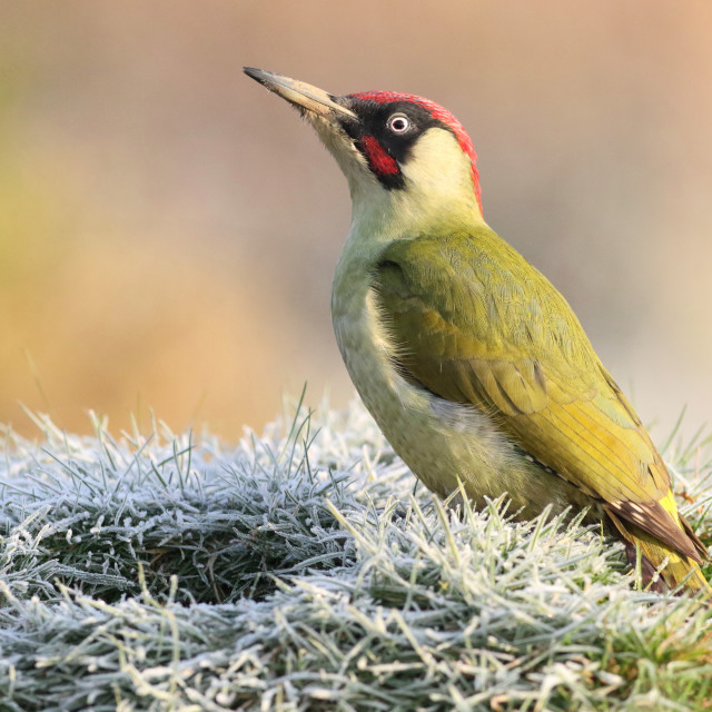 """Frosty woodpecker"" stock image"