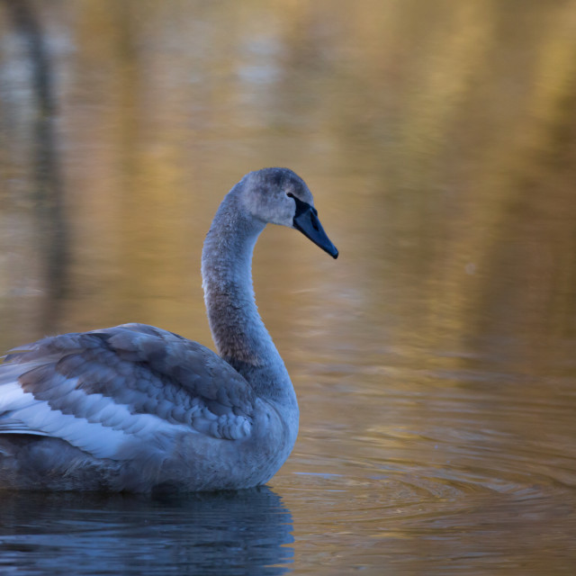 """""""A solitary Cygnet."""" stock image"""